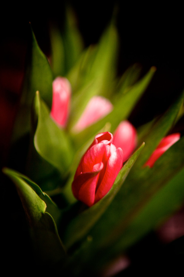 Cool little pink tulip ready to open up!<br /> <br /> Day 70 of 365<br /> 03-11-2013