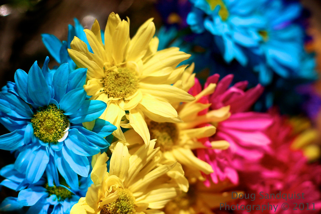Who knew that daisies came in this shade of blue? And who exactly buys them? Well I guess we do! <br /> <br /> 09-30-2011