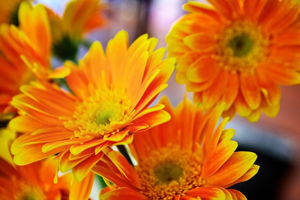 Picked up some Yellow and Orange Gerbera Daisies for my wife for Mother's Day tomorrow... I think Gerbera Daisies are one of my favorites... Fun to photograph and they last a long time. <br /> <br /> Day 131 of 365<br /> 05-11-2013