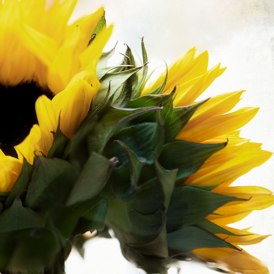 Fun with Sunflowers