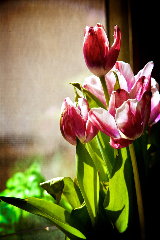 Tulips are wilting a bit.... but had to find some green somewhere....:)<br /> <br /> Day 76 of 365<br /> 03-17-2013