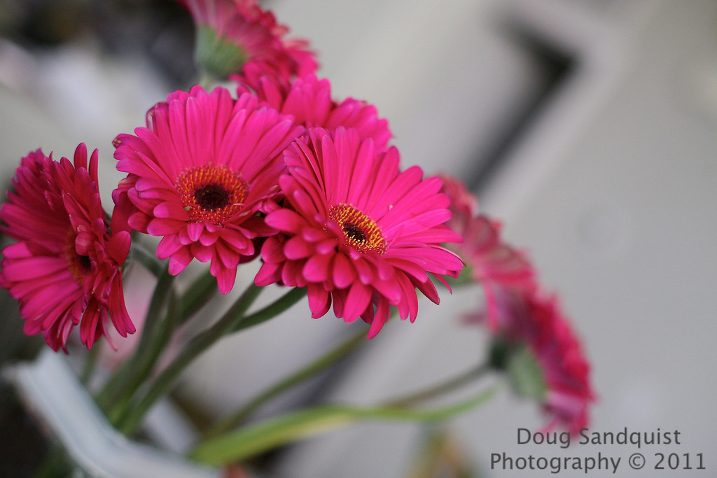 Posted a St. Patricks day cupcake yesterday so i decided to try these daisies today... Nice vibrant pink daisies. <br /> <br /> Happy St. Patricks day all.. <br /> <br /> 03-17-2011