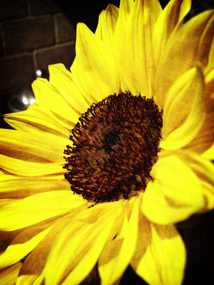 Sunflower <br /> Day 64 of 365 <br /> 03-05-2013