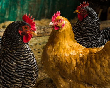L to R: Barred Rock, Buff Orpington and Barred Rock