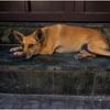 Cuba Havana Old Havana Dog 2 March 2017