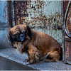 Cuba Havana Old Havana Dog 3 March 2017