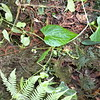 2010-016 Papuasicyos carrii