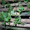 SAJ0348 Gynostemma pentaphyllum