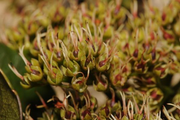 Cunoniaceae