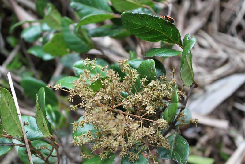 Conn5371 Pullea glabra Conn5434 Opocunonia nymanii