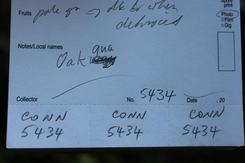 Conn5434 Opocunonia nymanii