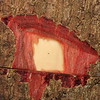 Conn5516 Schizomeria serrata