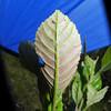 SAJ0757 Pullea glabra  verticillata