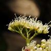 SAJ0747 Schizomeria serrata