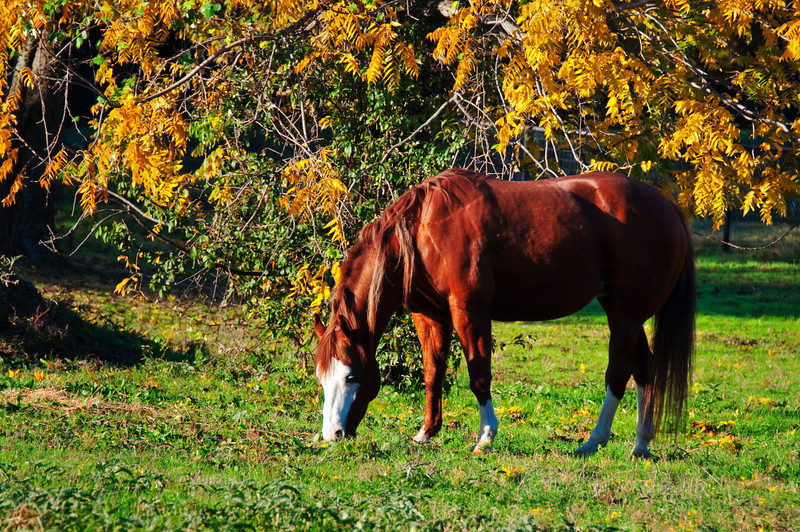 """November 28, 2010 - """"Early Morning Snack""""<br /> <br /> This is one of the horses that was not interested in visiting me at the fence.The very friendly horse was posted on Friday."""