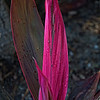 "December 11, 2009 - ""Fuchsia""<br /> <br /> I was busy shooting some Victorian architecture in Galveston when the light and the fuchsia color of this plant caught my eye.  So in anticpation of a Painted Lady House,  here's the results of natures paint brush."