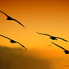"December 27, 2011 - ""Formation Flying""<br /> <br /> Sandhill Cranes landing at sunset at Bosque del Apache."