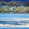 "December 26, 2011 - ""Early Morning Flight""<br /> <br /> This was shot in very low light about one hour after sunrise at Bosque del Apache earlier this month."
