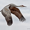 "December 9, 2011 - ""Soaring""<br /> <br /> This Sandhill Crane was photogaphed last Friday at Bosque del Apache in New Mexico."