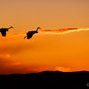 "December 8, 2011 - ""Flaps Down for Landing""<br /> <br /> Sandhill Cranes landing during Sunday sunset at Bosque Del Apache this week."