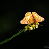"April 9, 2012 - ""Hiding Away""<br /> <br /> Found this butterfly in a darker area of the dense patch of yellow wild flowers."