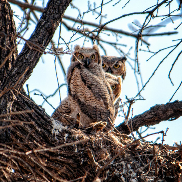 "March 8, 2013 - ""All Eyes""<br /> <br /> Looks like I was being watched intensely by this family yesterday on Quail Creek Trail here in Southlake.  Several of us have been  photographing the mother and the two baby owls who have grown rapidly over the last few weeks.<br /> <br /> Here's the family about two weeks ago as shot by fireflystudio<br />  <a href=""http://fireflystudio.smugmug.com/Photography/Daily-Photos-2013/27337876_szJdWr#!i=2381580241&k=8NpNwf8"">http://fireflystudio.smugmug.com/Photography/Daily-Photos-2013/27337876_szJdWr#!i=2381580241&k=8NpNwf8</a>"