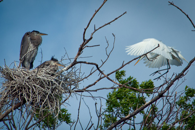"May 1, 2013 - ""The Welcoming Committee""<br /> <br /> I liked how the Herons were observing the Egret near our house yesterday."