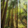 "April 28, 2013 - ""Through The Redwoods""<br /> <br /> - majestic redwoods in California"