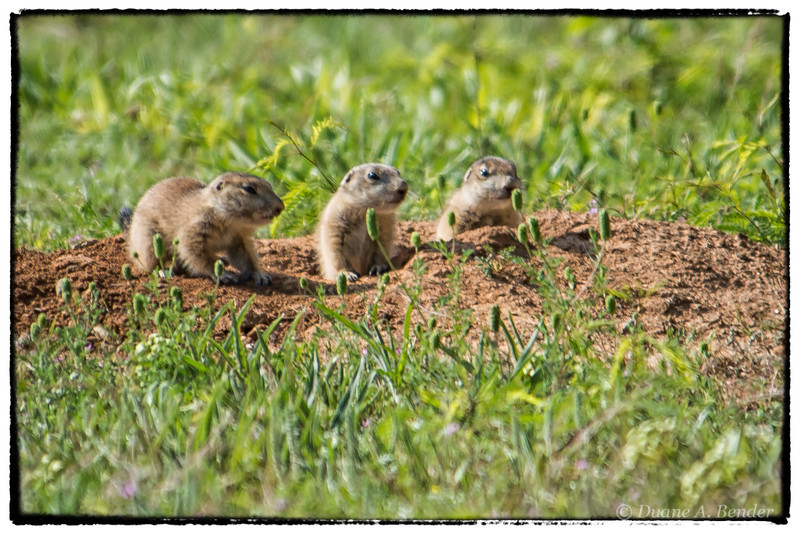 """April 26, 2013 - """"Inquisitive""""<br /> <br /> These young prairie dogs were checking things out yesterday at the Ft. Worth Nature Center."""