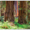 "April 20, 2013 - ""Lost On The Redwoods""<br /> <br /> The size of the Redwoods miniaturize the people in the Muir Woods."