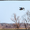 "March 4, 2013 - ""Landing Speed""<br /> <br /> This Heron was slowing down for landing."