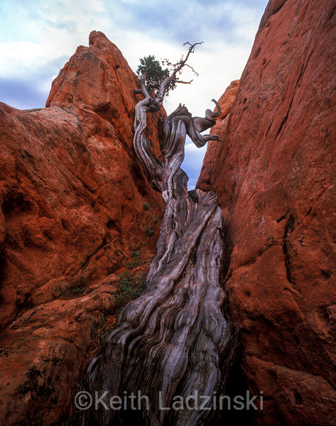garden of the gods, juniper tree