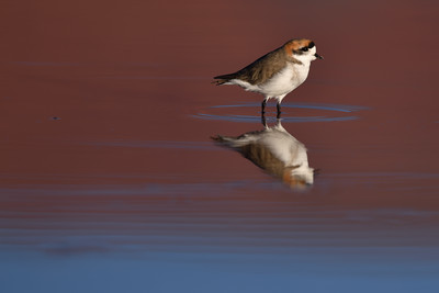 Wadding Bird in the Red Lagoon, Argentina
