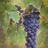 Tuscan Grapes