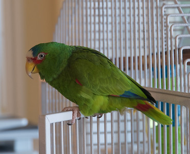 Opus a White-fronted Parrot  (Amazona albifrons)