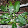 SAJ0830 Diospyros papuana