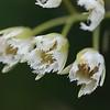 2010-005 Elaeocarpus
