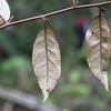 Conn5473 Elaeagnus triflora var. triflora