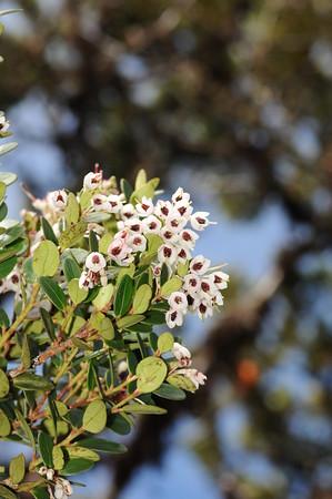 SAJ1215 Dimorphanthera amplifolia