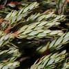 SAJ0617 Styphelia suaveolens