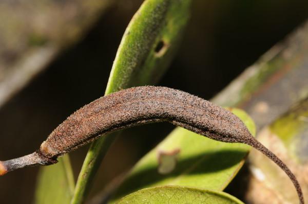 SAJ0690 Rhododendron