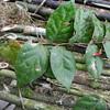 SAJ0642 Agapetes sclerophylla