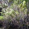 SAJ1214 Trochocarpa nutans