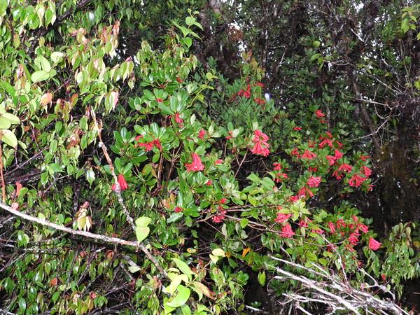 SAJ1231 Rhododendron alticola