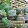 SAJ0640 Dimorphanthera ingens