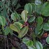 SAJ0345 Dimorphanthera ingens