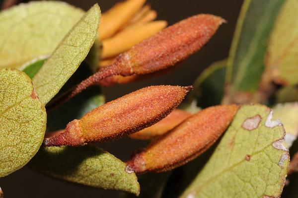 SAJ0688 Rhododendron yelliotii