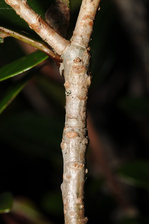 SAJ1213 Dimorphanthera cf. myzomele