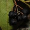 SAJ0637 Gaultheria pullei