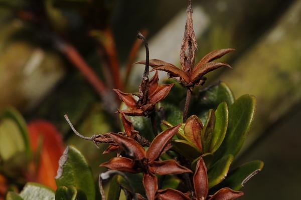 SAJ0614 Rhododendron commonae